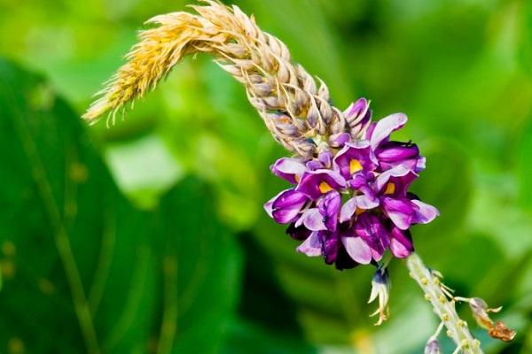 le kudzu la plante miracle anti alcool anti tabac et