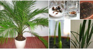 Como-germinar-semillas-de-palmera