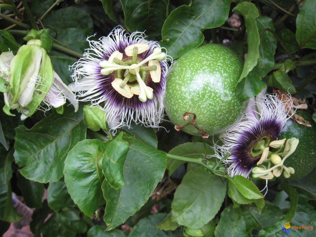 Visoflora-fleur-et-fruit-de-la-passion-1254