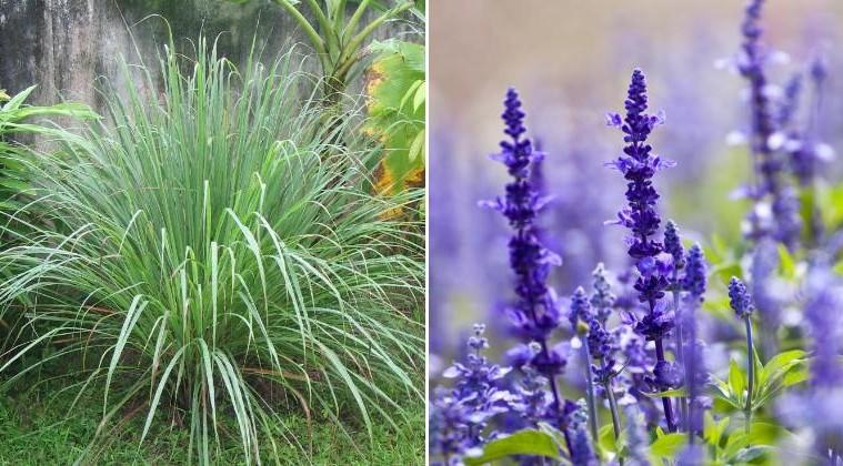 4 plantes qui garderont les moustiques loin de vous et votre maison - Plante qui attire les moustiques ...