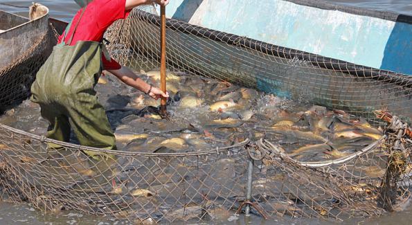 Des poissons import s de chine nourris aux excr ments for Alimentation poisson elevage