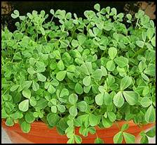 fenugreek_plant