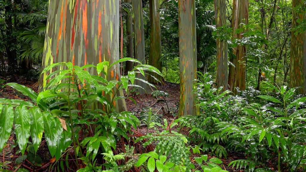Colorful tree trunks of the Rainbow Eucalyptus (Eucalyptus deglupta) at the Keanae Arboretum along the road to Hana in Maui, Hawaii